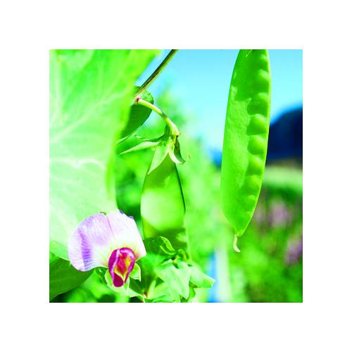 Kefen / Zuckererbsen Samen, Winterkefe