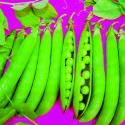 Erbsen Samen, Sprinter von Marbach