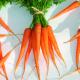 Frühkarotten, Tip Top