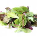 Schnittsalat Samen, Mesclun Zollinger