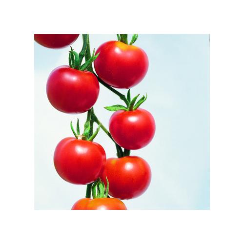 Minitomaten, Typ Rote Cherry