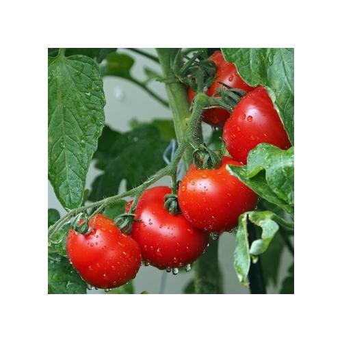 Tomaten, Sibirische Frühe