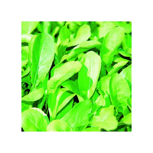 Rucola Samen, Salatrauke einjährig