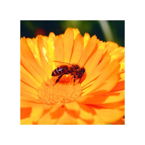 Calendula, Einfach, Orange einjährig