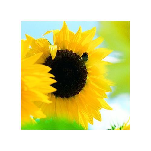Sonnenblume, Gemischt einjährig