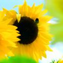 Sonnenblumen Samen, Gemischt einjährig