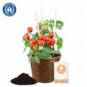 Cherrytomate Bio Gemüse-Anzuchtset