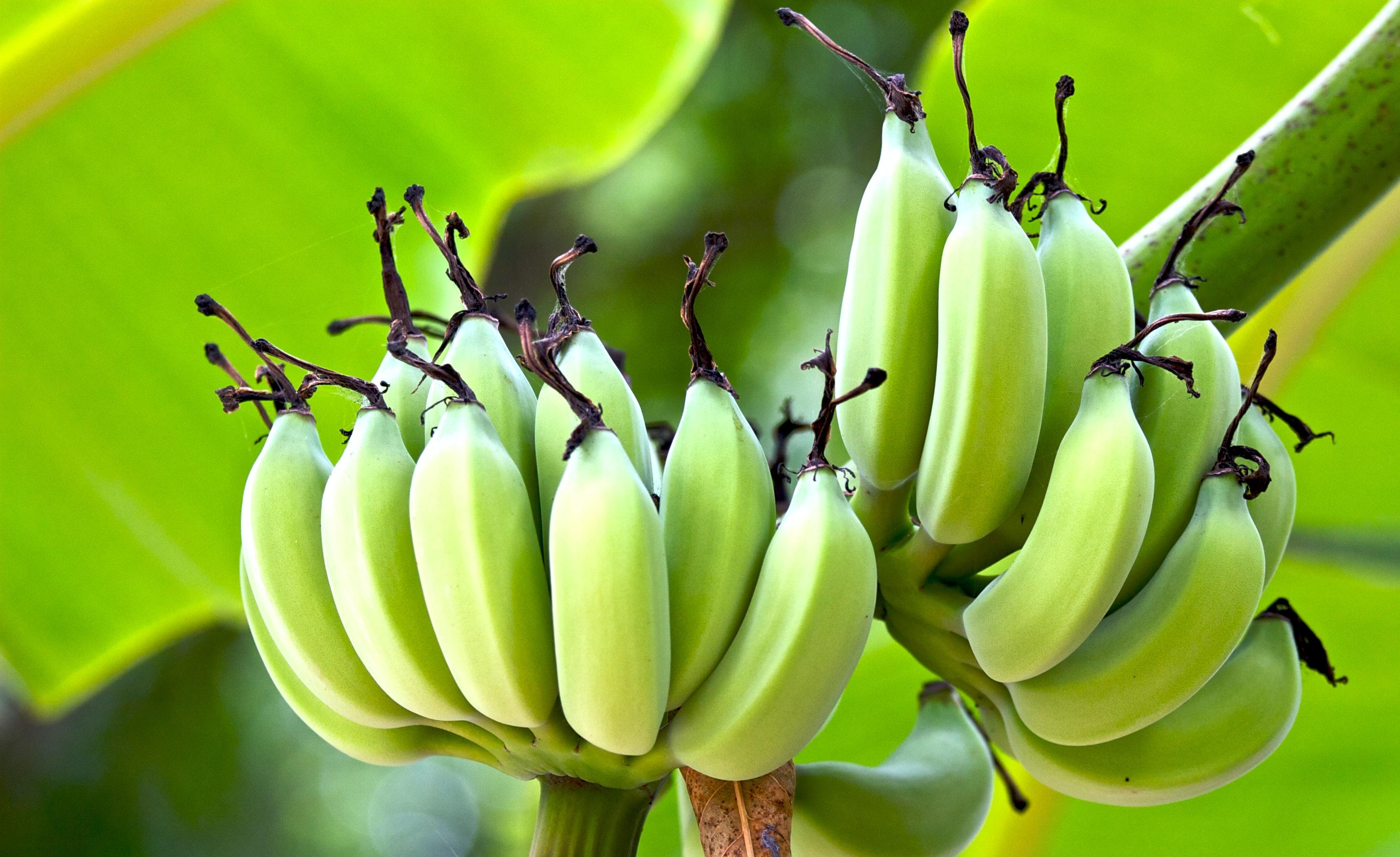 Bananitos retten